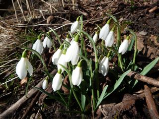 images/stories/snowdrops.jpg
